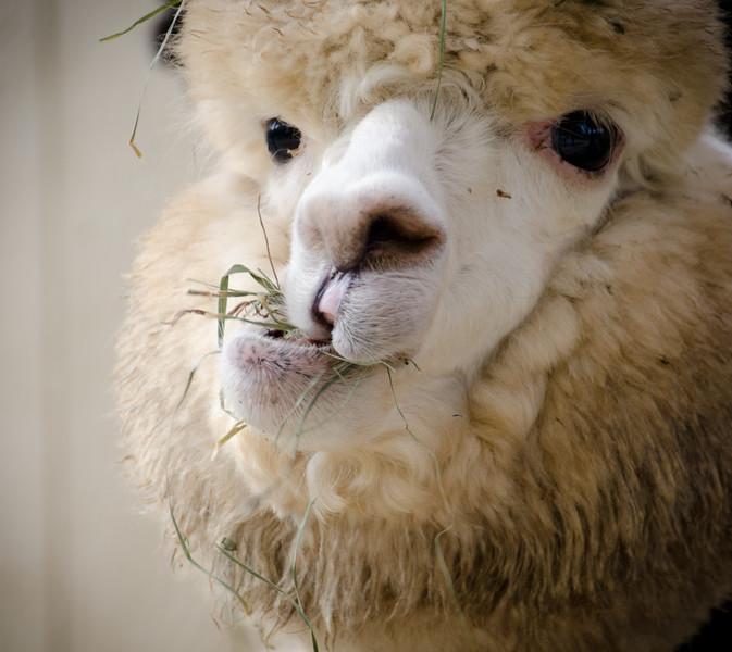 Six Paca Alpaca Farm, Bozrah, CT (25)