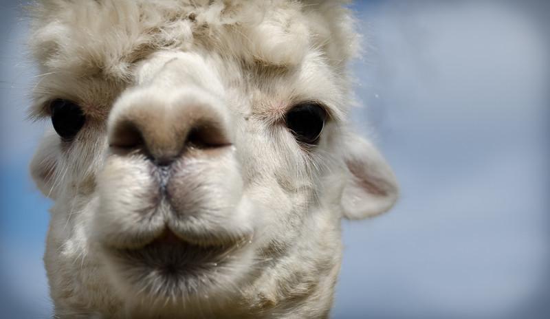 Six Paca Alpaca Farm, Bozrah, CT (3)
