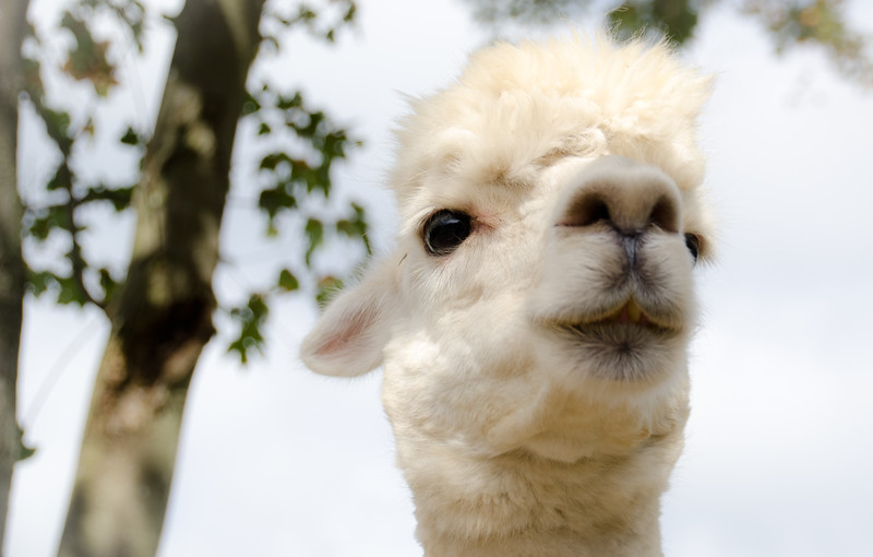 Six Paca Alpaca Farm, Bozrah, CT (9)