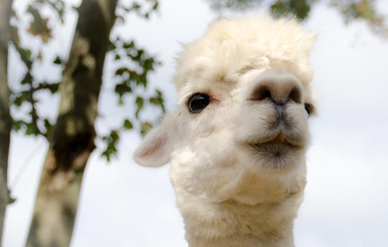 Six Paca Alpaca Farm, Bozrah, CT (9)