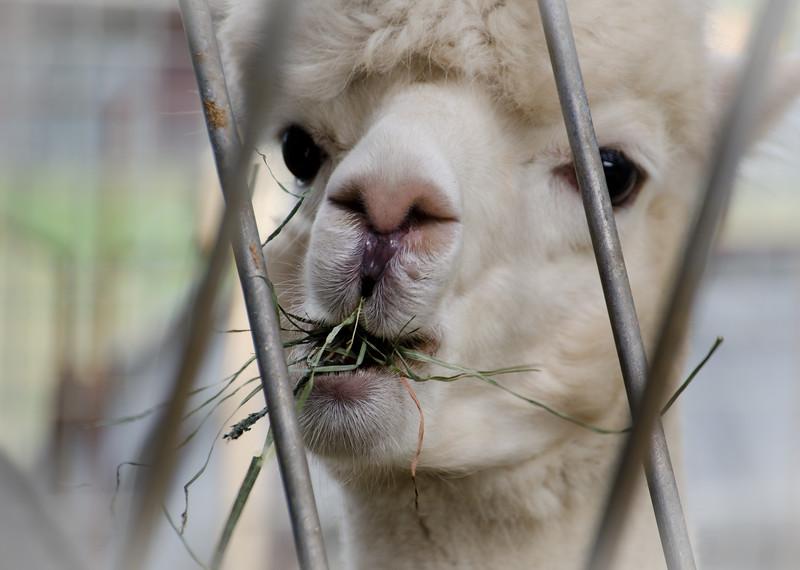 Six Paca Alpaca Farm, Bozrah, CT (29)