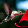 Hummingbirds-Franklin Park, PA 7-10-16---12