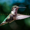 Hummingbirds-Franklin Park, PA 7-10-16---13