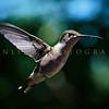 Hummingbirds-Franklin Park, PA 7-10-16---4