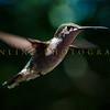Hummingbirds-Franklin Park, PA 7-10-16---2
