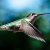 Hummingbirds-Franklin Park, PA 7-10-16---9