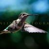 Hummingbirds-Franklin Park, PA 7-10-16---6