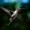 Hummingbirds-Franklin Park, PA 7-10-16---3
