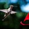Hummingbirds-Franklin Park, PA 7-10-16---5