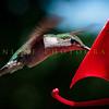 Hummingbirds-Franklin Park, PA 7-10-16---8