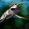 Hummingbirds-Franklin Park, PA 7-10-16---10