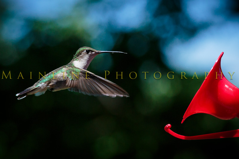 Hummingbirds-Franklin Park, PA 7-10-16---1