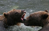 Russian River Brown Bears