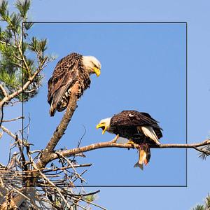 eagle pair-5688-16x16