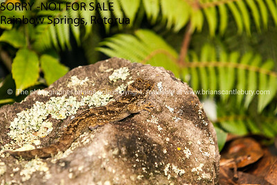 Gecko New Zealand
