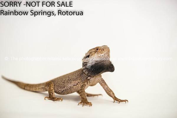 Australia Frilled Lizard