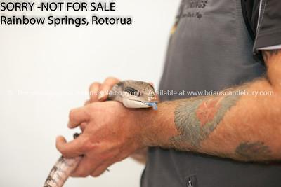 Australian Blue Tongues Lizard