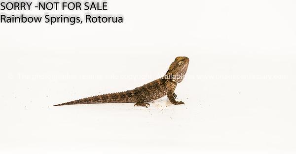 Reptile Small Tuatara