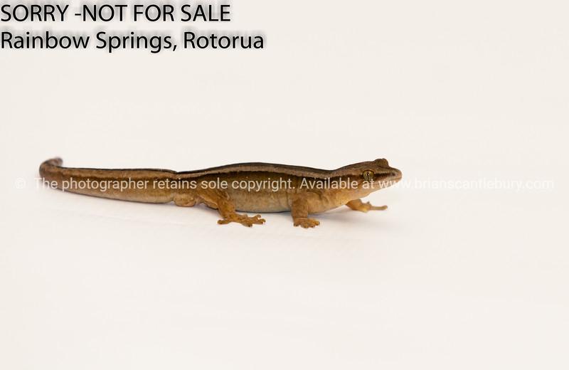 New Zealand - Striped gecko