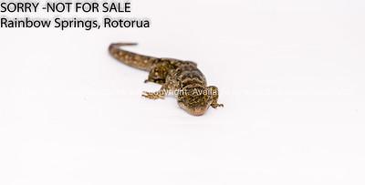 New Zealand Duvaucel's Gecko