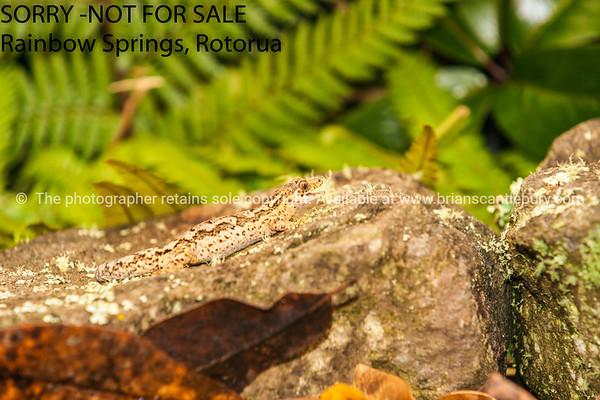 Gecko - New Zealand.