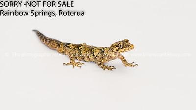 Gecko - New Zealand