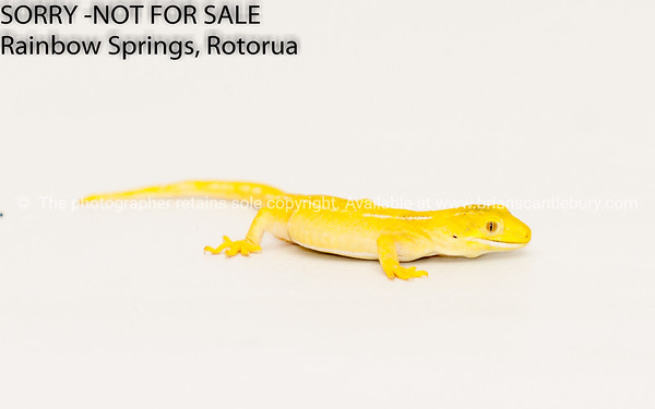 Yellow morph green tree lizard - gecko