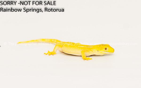 Yellow morph green tree lizard - gecko