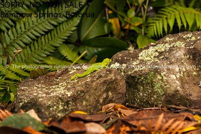 New Zealand Green Tree gecko