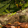 New Zealand Green Tree gecko