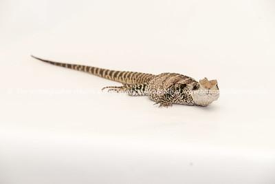 Reptile 11