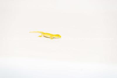 Reptile 6 Gecko Yellow morph