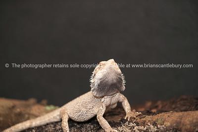 Reptile 9
