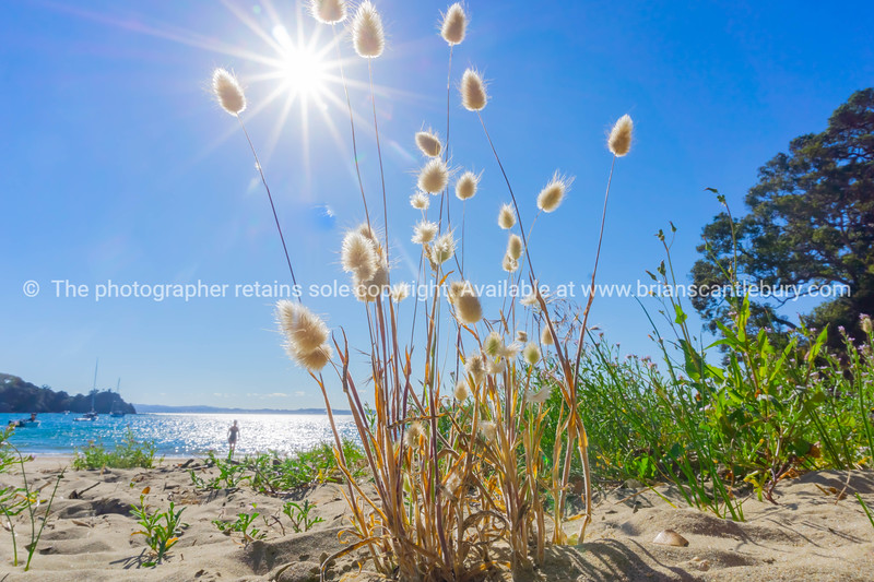 Rabbit tail seed heads growing on beach from low perspective with lens flare.