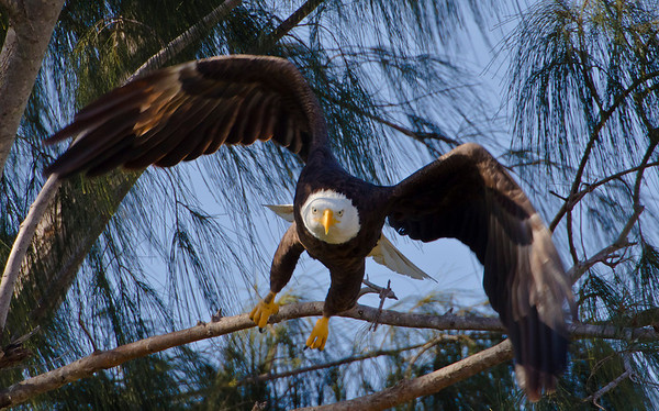 Male Bald Eagle, Pembroke Pines, 1-15-2011 -- awaiting confirmation, could be day of first hatched for 2011.