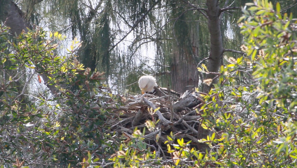 Video of female Bald Eagle on nest.  First young of the season is believed to have hatched within last 3-30 hours.  Taken approximately 11am, 1-15-2011.