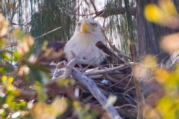 Female Bald Eagle, Pembroke Pines, 1-15-2011 -- believed to be tending to young eaglet 3-30 hours old.  First for couple during the 2010-2011 winter breeding season.