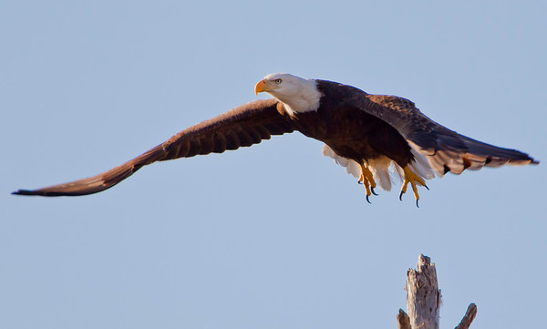 Female Bald Eagle, newly hatched egg on nest, Pembroke Pines, 1-15-2011.