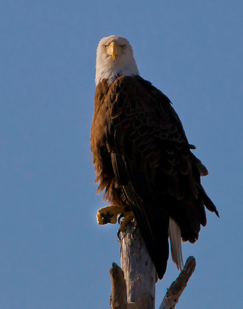"""Female Bald Eagle showing """"fist pump"""" to photographer ... and why not, today she has new eaglet!"""