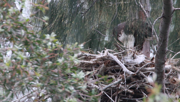 January 22nd, 2011 - Adult Eagle with week+ old eaglet(s) not seen.