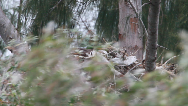 """January 22nd, 2011 - Very windy day - Adult Eagle Flys to Nest with other parent and 7-day old eaglet(s).  Eaglets not seen in video, but photographed same hour. --  Click to start the video, player defaults to """"auto, high definition mode."""" If the video doesn't start after 15 seconds, or run to end, select one of 5 different resolution modes at the top of the movie menu box.  By running your mouse cursor at the bottom of the video box while playing, or if it stops during play, the video can be restarted, paused, and stopped again during play."""