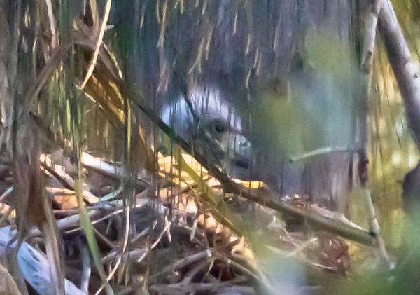 Pembroke Pines, baby Bald Eagle, Jan 29th, 2011.