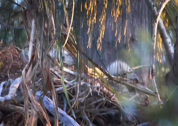 Pembroke Pines, two baby Bald Eagles, Jan 29th, 2011.