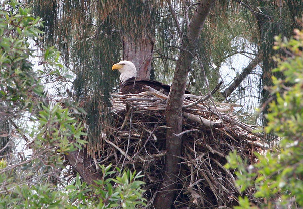 Eagle on nest.