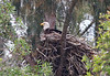 Eagle on nest.