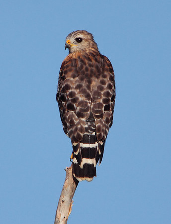 Red-Shouldered Hawk, Everglades FL, Canon 5D MKII, 1400mm (500mm 4L + 1.4X + 2X), 8av, 1/1600s, 640ISO.  Note: automatic camera info record misses second converter.  August 22, 2009.