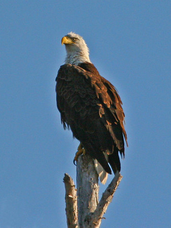 Eagle watching nest.