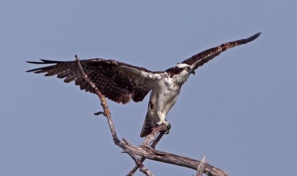 Osprey on perch, Ding Darling Wildlife Refuge, Sanibel Island, FL, July 2009.