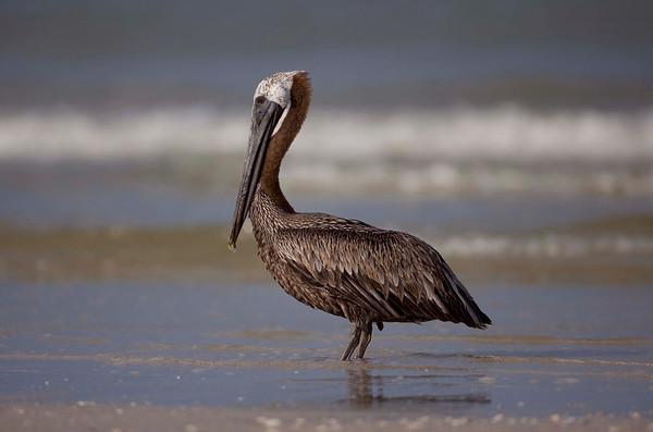 Brown Pelican, Estero Island Beach, Fort Myers FL, July 2009.
