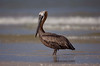 Brown Pelican, Estero Island Beach, Fort Myers FL, July 2009.